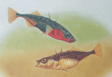Stickleback Species Pairs